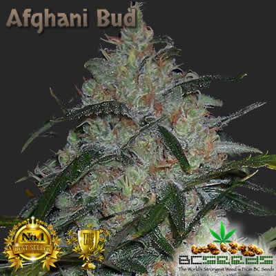 Afghani Bud
