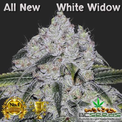 All New White Widow