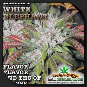 berry white elephant