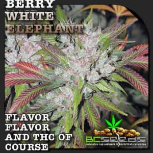 berry white elephant seeds