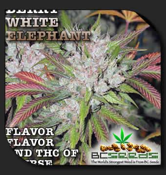 berry white elephant