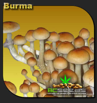 Burma Shrooms