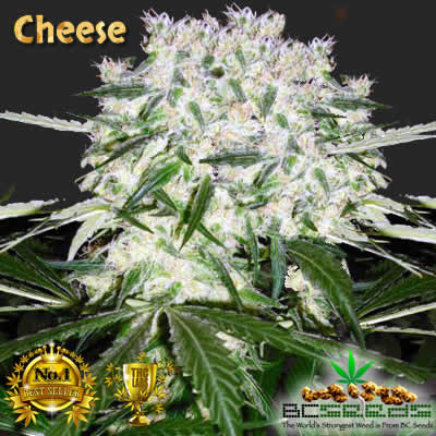 Cheese Bud Cannabis
