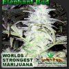 Elephant Bud 2