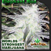 Elephant Bud