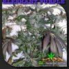 Elephant Purple Cannabis Strain