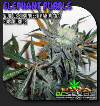 Elephant Purple Marijuana Seeds