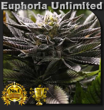 Euphoria Unlimited Seeds