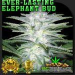 Everlasting Elephant Bud