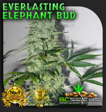 Everlasting Elephant Seeds