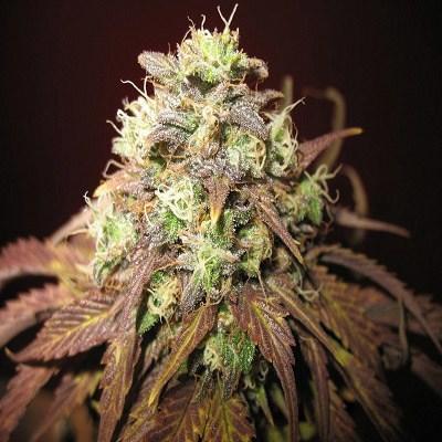 Habiba Marijuana Seeds