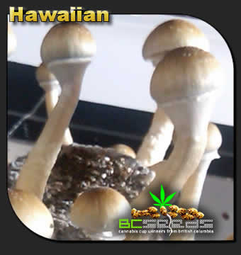 Hawaiian Shrooms