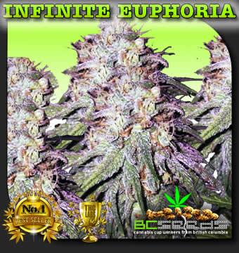 Infinite Euphoria Bud