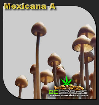 Mexicana A Shrooms