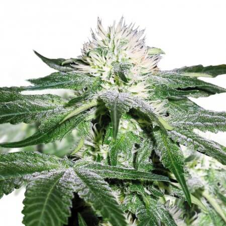 Misty Regular Cannabis Seeds