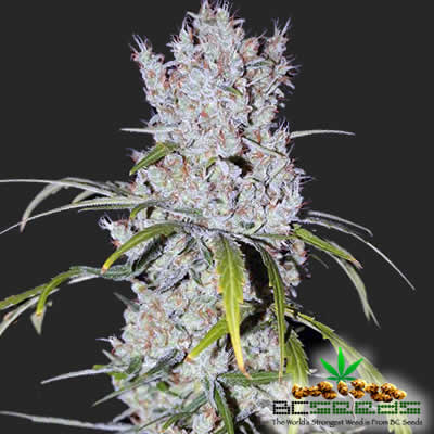 Mount Everest Skunk