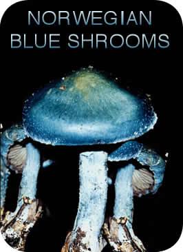 Norwegian Giant Blue Shrooms