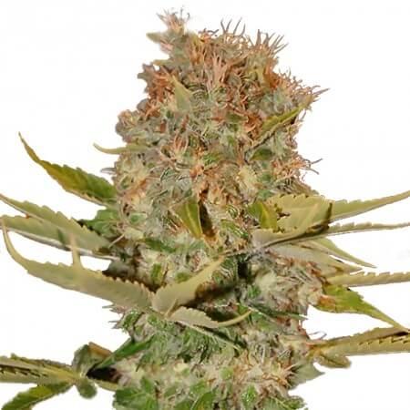 Number 14 Feminized Cannabis
