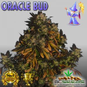 Oracle Bud
