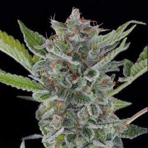 White Widow XTRM Auto Feminized