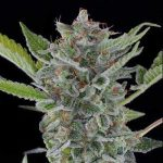 White Widow Extreme Feminized