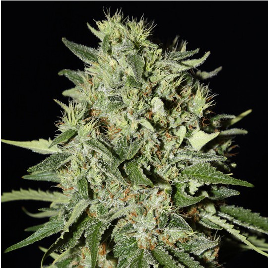 White Widow Feminized
