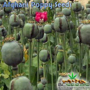 Afghani Opium Poppy Seeds
