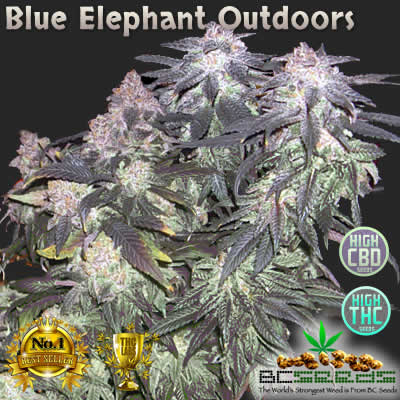 Blue Elephant Outdoors