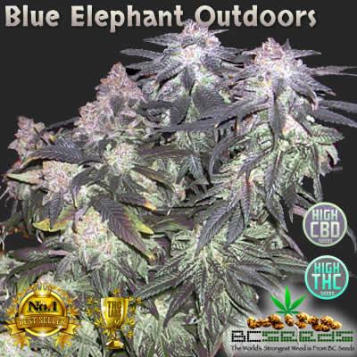 Blue Elephant Outdoors
