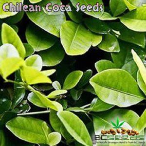 Chilean Coca Seeds