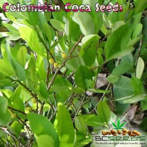 Colombian Coca Seeds
