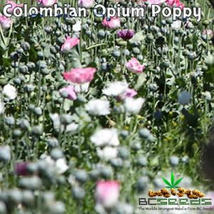 Colombian Opium Poppy Seeds