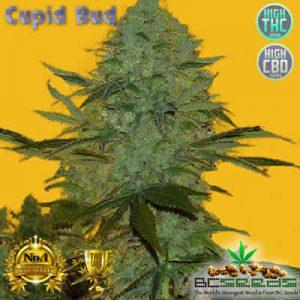Cupid Bud