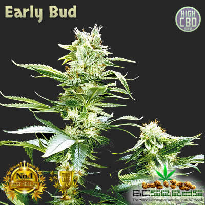 Early Bud BC Seeds