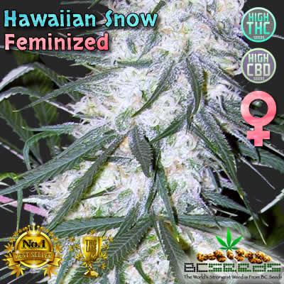 Hawaiian Snow Feminized