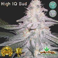 High IQ Cannabis Strain