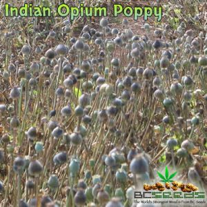 Indian Opium Poppy Seeds