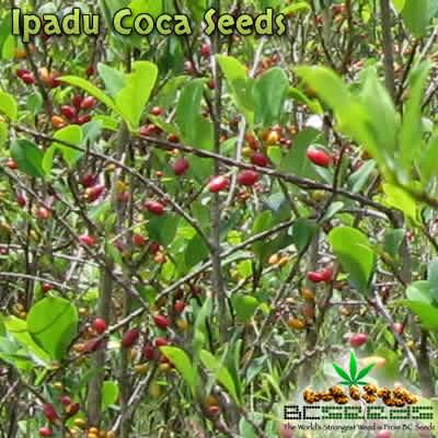 Ipadu Coca Seeds