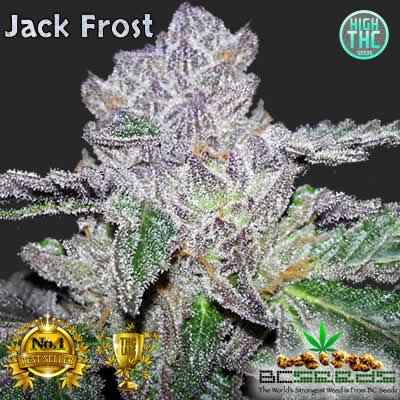Jack Frost Bud