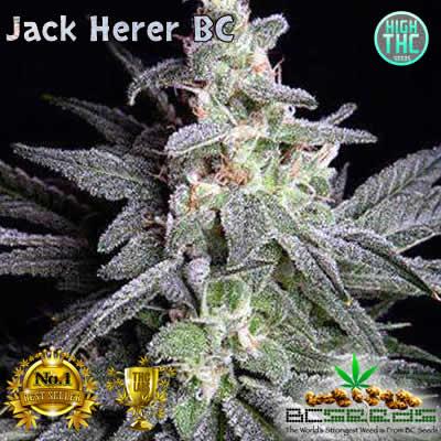 Jack Herer BC