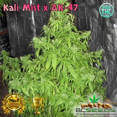 Kali Mist x AK-47