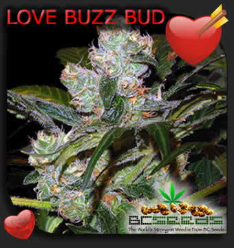 Love Buzz Bud
