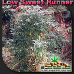 Low Sweet Runner
