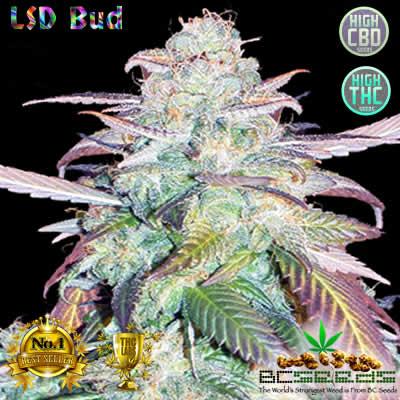 LSD Bud