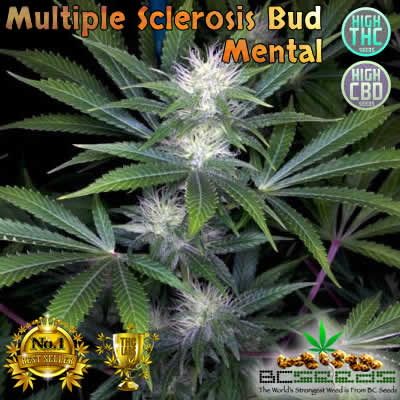 Multiple Sclerosis Bud Mental