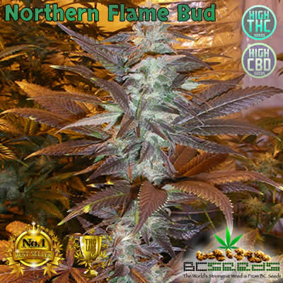Northern Flame Bud