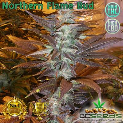 Northern Flame Bud