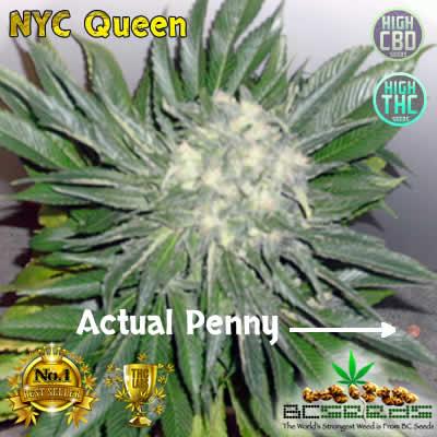 NYC Queen