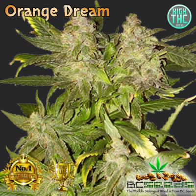 Orange Dream