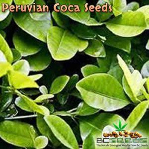 Peruvian Coca Seeds